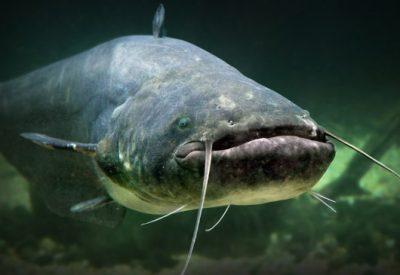 Рыба сом
